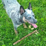 Blue Heeler dog with stick