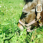 horse Flicka grazing