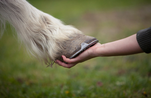 Girl holds a hoof of horse